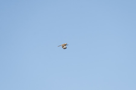 Northern Mockingbird gains altitude with powerful wingbeat