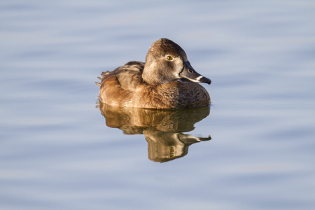 Female Ring-necked Duck making eye contact Stock Photo
