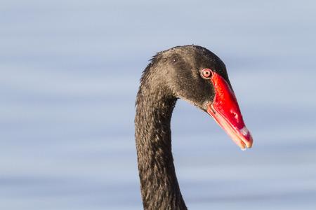 Black Swan on Lake Morton in Lakeland, Florida