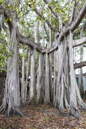 Ingewikkelde Banyan-boom bij Edison en Ford Winter Estates in Fort Meyers, Florida Stockfoto
