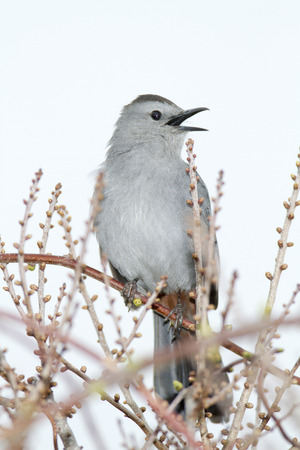 catbird: Gray Catbird calling from newly budding bushes