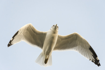 Gulls attention already focused ahead on its flight path Stock Photo