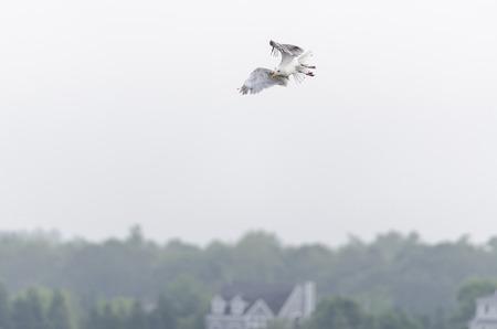 wheeling: Herring Gull wheeling toward something interesting Stock Photo