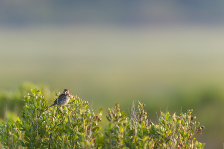 Song Sparrow perched atop bush on foggy morning Stock Photo