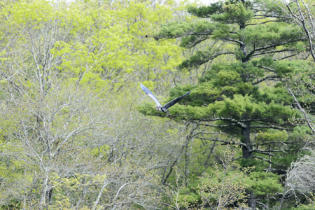 marion: Great Blue Heron flying with stick for nest