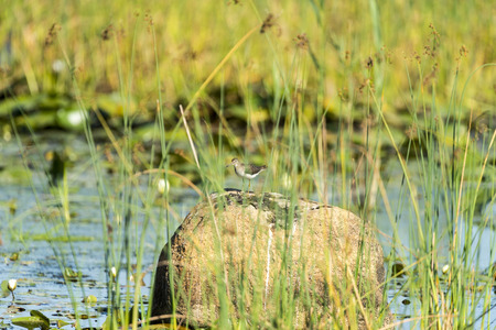 considers: Solitary Sandpiper considers next move from rock at Daniel Webster Wildlife Sanctuary Stock Photo