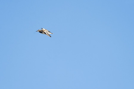 Ruddy Turnstone (Arenaria interpres)male  glides across sky Stock Photo