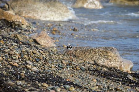 Ruddy Turnstone male foraging along rocky New England shoreline