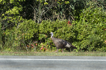 Wild Turkey hen foraging along country road