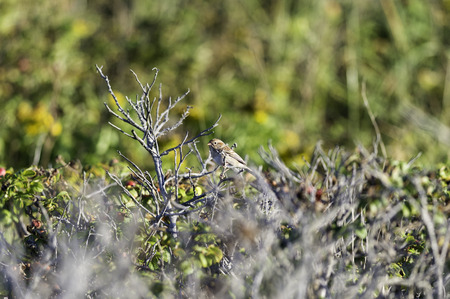 Field Sparrow perched in bushes along seashore