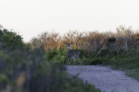 whitetailed: Backlit White-tailed Deer caught in the open just after sunrise Stock Photo