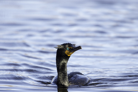 Double-crested Cormorant breeding adult showing nuptial crests and colorful eyes