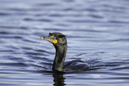 nuptial: Double-crested Cormorant nuptial crests colorful eyes