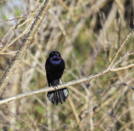 Iridescent Common Grackle offers fierce stare Stock Photo