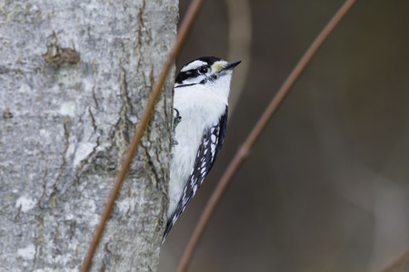 downy woodpecker: Downy Woodpecker framed by two plant stems