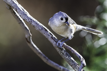Tufted Titmouse posed coyly on tree branch Imagens