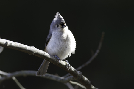 Perched Tufted Titmouse against soft green background