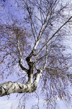 キハダカンバ冬のニュー イングランドのオーバーヘッド 写真素材