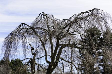 leafless: Leafless tree canopy