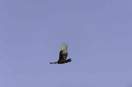 turkey vulture: Turkey vulture makes eye contact as it flys by