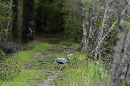 marion: Great Blue Heron on path along pond in Washburn Park in Marion, Massachusetts Stock Photo