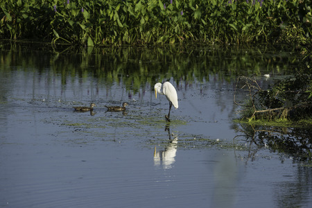 balancing act: Great Egret balancing act as two Wood Duck pass by Stock Photo