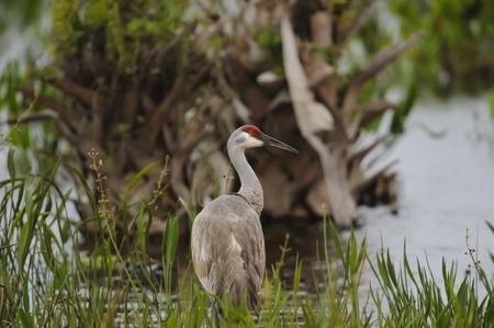 sandhill crane: Sandhill Crane poised in shallows at Viera Wetlands