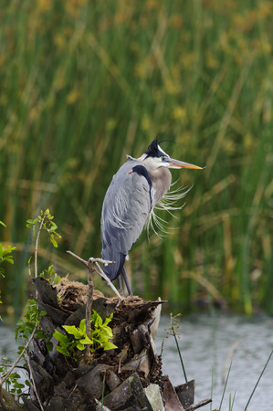 herodias: Great Blue Heron motionless on tree stump in Viera Wetlands