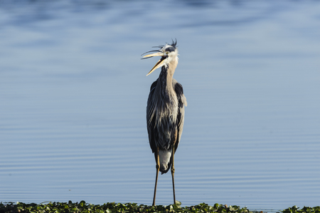 herodias: Great Blue Heron unhappy with the situation Stock Photo