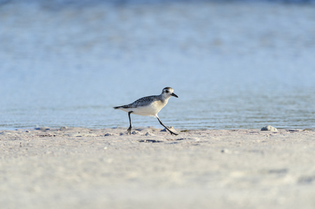 Black-bellied Plover scooting along Fort De Soto beach