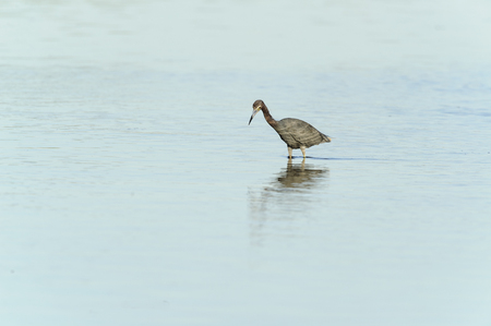 pinellas: Little Blue Heron hunting in lagoon shallows