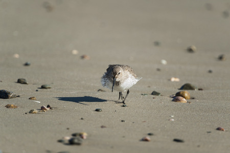 Wind ruffling feathers of Dunlin trotting along beach
