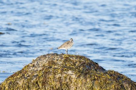 Willet on comfortable perch on Buzzards Bay rock Фото со стока