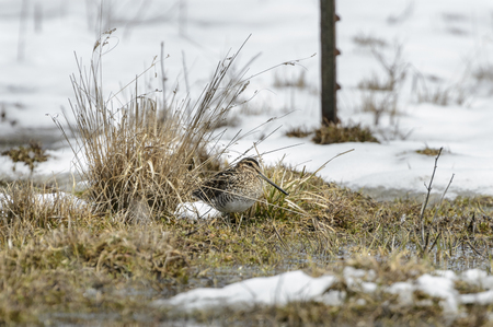 occupying: Wilsons Snipe occupying patch of high ground in marshy pasture Stock Photo