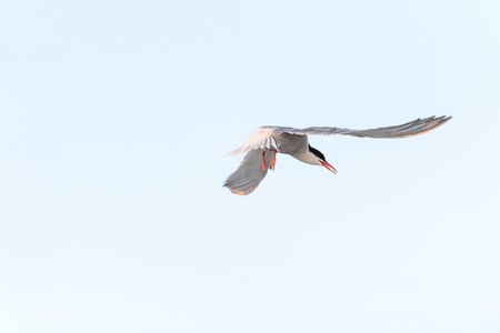 Common Tern hangs in midair looking sideways making eye contact