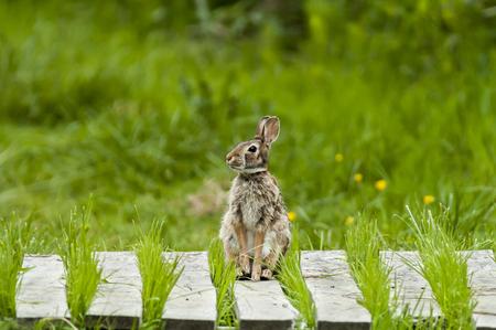 Rabbit poised and watchful on marshland boardwalk