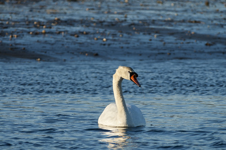 Mute swan late afternoon low tide Mattapoisett River