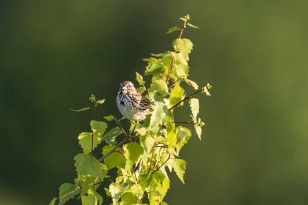Alert Song Sparrow encaramado en un árbol pequeño Foto de archivo - 80352111