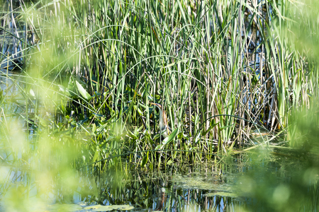 Least Bittern partly camouflaged by reeds in marsh Stock Photo