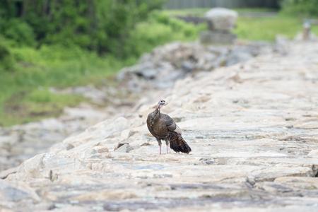 Wild turkey hen interrupts stroll across hurricane barrier to assess situation