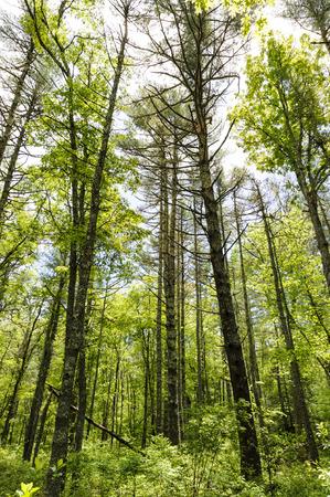 Tall trees in Munn Preserve in Mattapoisett, Massachusetts