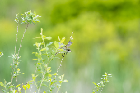 mobbing: Willow Flycatcher launching into flight from twig Stock Photo