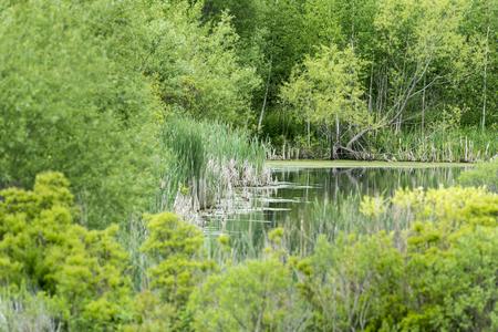 Southern edge of wetland created on Atlas Tack Superfund site in Fairhaven, Massachusetts 版權商用圖片