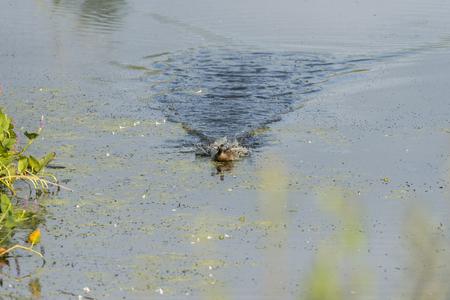 Female Wood Duck generates wake in furious rush across pond Banco de Imagens - 81354717