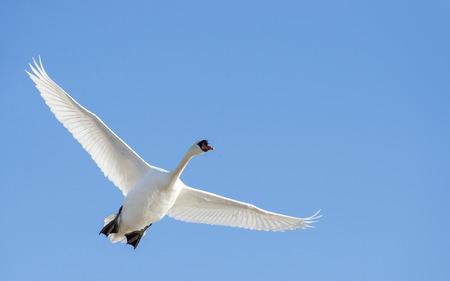Adult mute swan in flight wings high Stock Photo - 82242965