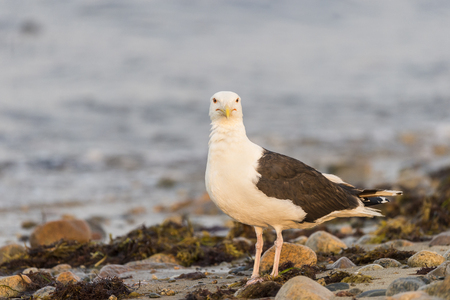 Great Black-backed Gull claims section of beach