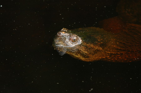 Water running off a snapping turtle as it lifts its head
