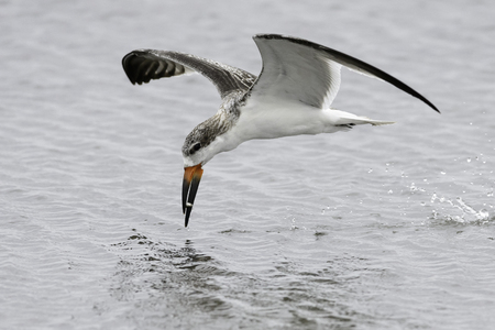 Immature Black Skimmer snagging a small fish Stock Photo