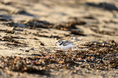Piping Plover highstepping through seaweed on beach Stock Photo