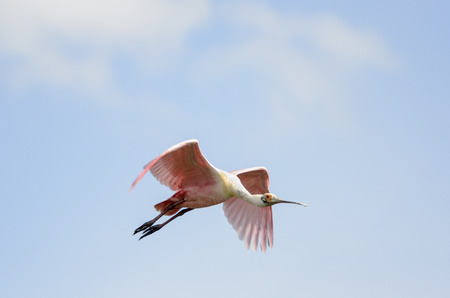 Roseate Spoonbill collection of odd angles in flight Stock Photo - 86860699
